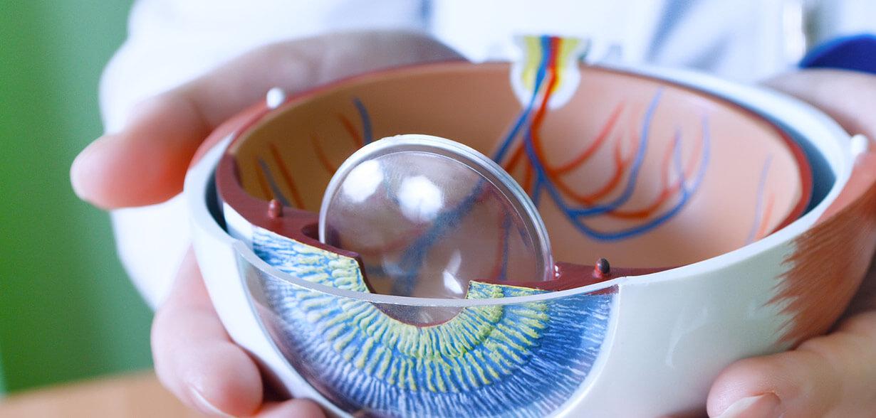 Imagen de modelo ocular que muestra las distintas partes del ojo.